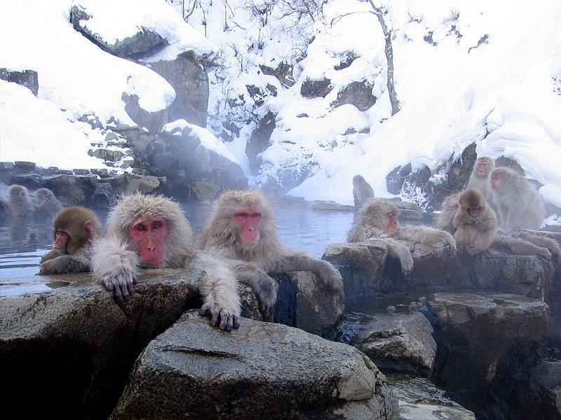 正在泡温泉的地狱谷猕猴